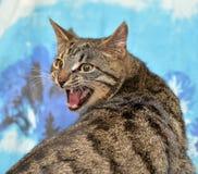 Tabby cat meows. Cute tabby cat on a blue backgroundn Stock Photography