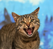 Tabby cat meows. Cute tabby cat on a blue backgroundn royalty free stock image