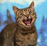 Tabby cat meows. Cute tabby cat on a blue backgroundn stock photos