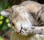 Tabby Cat mit Ohr-Tätowierung Tatze mit den Greifern leckend verlängert Stockbild