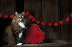 Tabby Cat mit Valentine Hearts Stockbild