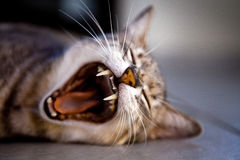 Tabby Cat Moaning While Lying on Gray Surface Royalty Free Stock Images