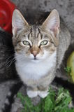 Tabby cat near bowl Royalty Free Stock Photo