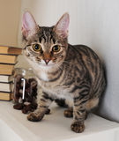 Tabby cat near stack of books and a jar of chestnuts Stock Images