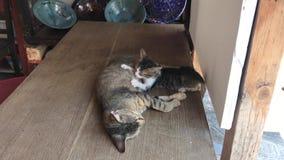 Tabby Cat Nursing stock footage