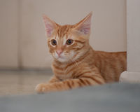 Tabby cat observing the room Stock Photography