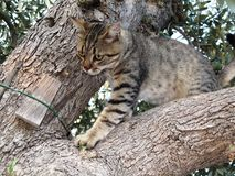 Tabby cat on olive tree. Striped domestic cat lurking on the trunk of an old olive tree that carefully observes another cat nearby Stock Photos