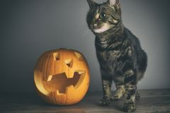 A tabby cat and one carved pumpkin on top of a wooden table against a seamless background. A tabby cat and one carved pumpkin on top of a wooden table against a royalty free stock photos