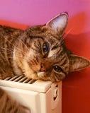 Tabby Cat op radiator Royalty-vrije Stock Fotografie