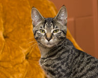 Tabby Cat on Orange. A European Short Hair Tabby colored Kitten on an orange chair royalty free stock image
