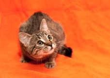 Tabby cat on orange background Royalty Free Stock Images