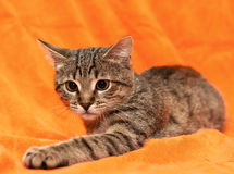 Tabby cat on orange background Stock Photos