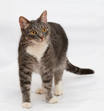 Tabby cat with orange eyes stands Stock Images