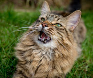 Tabby Cat Outdoors Portrait royalty free stock photos