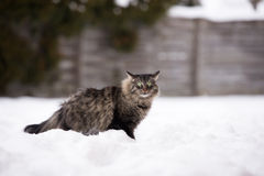 Tabby cat outdoors in winter Royalty Free Stock Photos