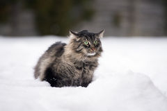 Tabby cat outdoors in winter Royalty Free Stock Photo
