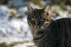 Tabby cat outdoors in winter, portrait of a European Shorthair, Stock Photo