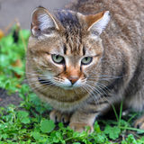 Tabby cat outside Royalty Free Stock Images