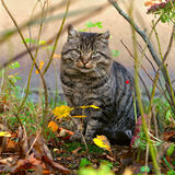Tabby cat outside Royalty Free Stock Photos