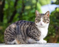 Tabby cat outside in the garden. Cute cat relaxing on a wooden table in the garden Royalty Free Stock Images