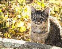 Tabby cat outside Royalty Free Stock Photography