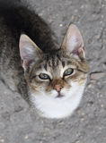 Tabby cat on pavement. Stock Photography