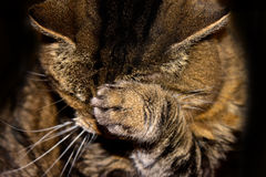 Tabby cat. With paw over her face royalty free stock image