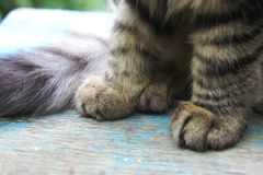 Tabby cat paws. close-up striped kitten paws. Close-up striped kitten paws. tabby cat paws royalty free stock photos