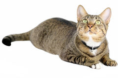 Tabby Cat. A tabby cat paying attention to something special Stock Image