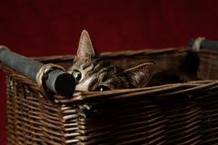 Tabby Cat Peeking fora da cesta gasto imagem de stock royalty free