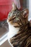 A Tabby Cat. A photograph of a tabby cat gazing upwards Royalty Free Stock Photo