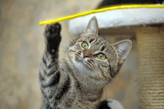 Tabby cat playing catch Royalty Free Stock Photo