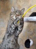 Tabby cat playing catch Royalty Free Stock Photography