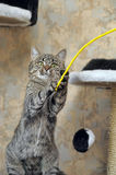 Tabby cat playing catch Royalty Free Stock Images