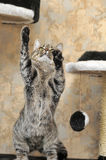 Tabby cat playing catch Stock Images