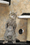 Tabby cat playing catch Stock Photography