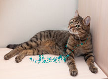 Tabby cat playing Stock Images