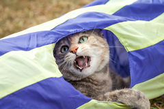 Tabby Cat Playing in Generic Cat Tunnel. Brown, ginger and grey tabby cat with green eyes playing in a generic yellow and blue cat tunnel with her mouth open and Stock Photos