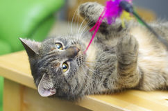Tabby cat playing. Tabby cat lying on its back and playing Stock Images