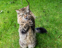 Tabby Cat Playing Outside With un bâton Photo stock