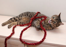 Tabby cat playing with red Christmas tree garland Stock Image