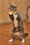 Tabby cat playing Royalty Free Stock Photo