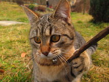 Tabby cat. Playing with stick Royalty Free Stock Images