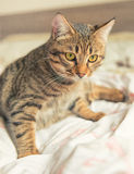 Tabby cat plays on bed Stock Photo