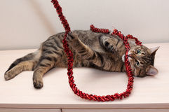Tabby cat plays gnaws red Christmas garland Stock Photography