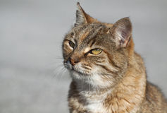 Tabby cat portrait Royalty Free Stock Photography