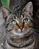 Tabby cat portrait Stock Photos