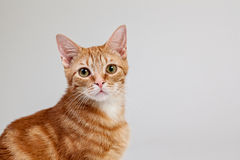 Tabby Cat Portrait Stock Images