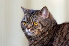 Tabby cat portrait royalty free stock photo