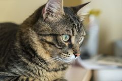 Tabby cat portrait. A close up portrait of a tabby cat stock images